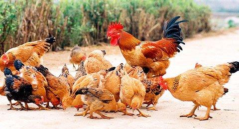 Hiện tượng trứng gà không có trống, nguyên nhân và cách khắc phục. | MÁY ẤP TRỨNG BẢO TÍN 【2020】【KHÔNG NỞ HOÀN TIỀN 100%】