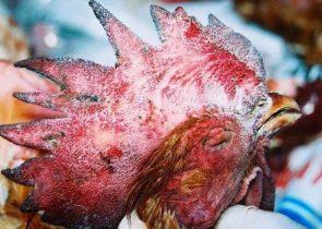Bệnh tụ huyết trùng ở gà và cách phòng bệnh.